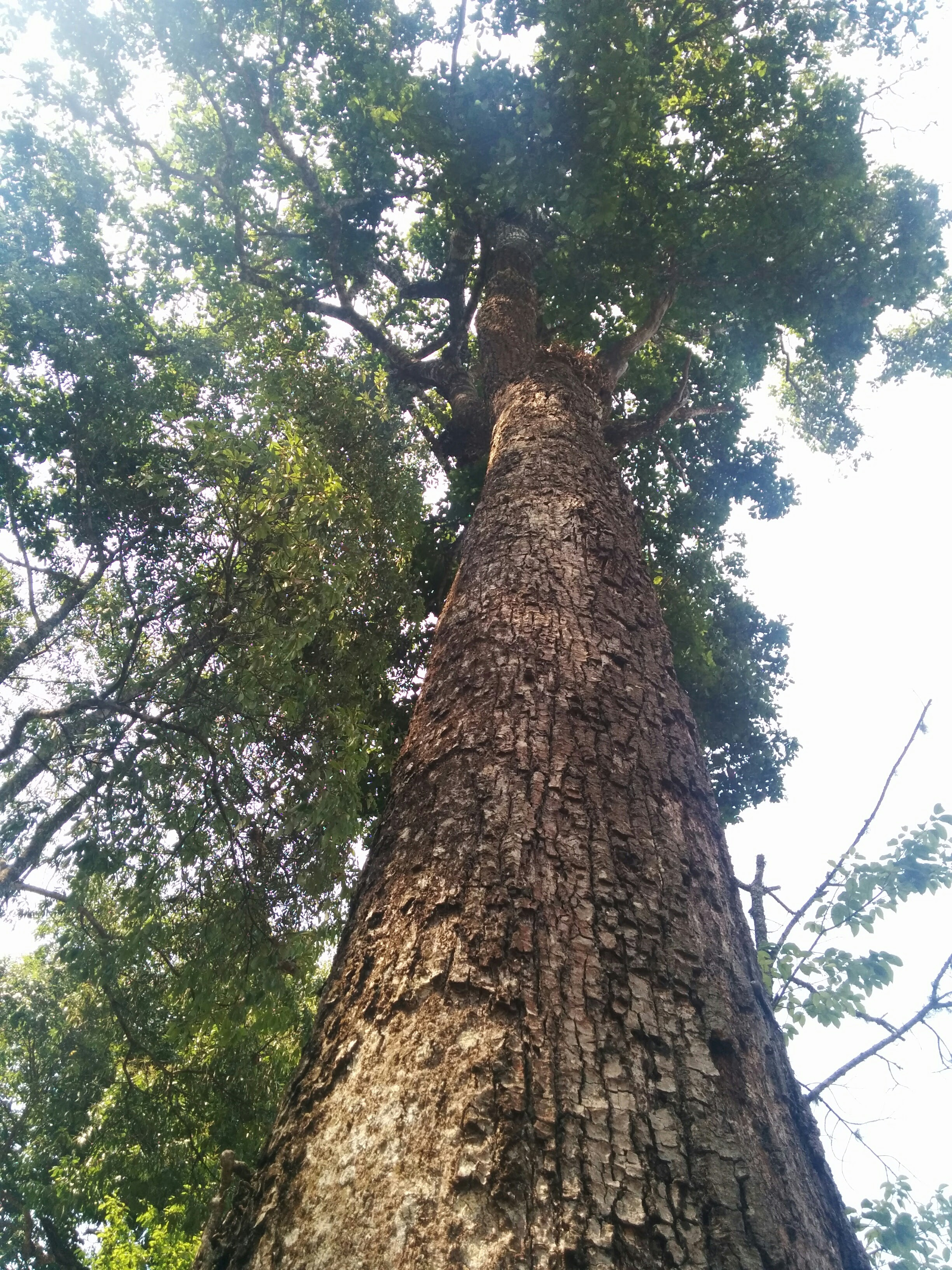 Trees Of Chiang Mai